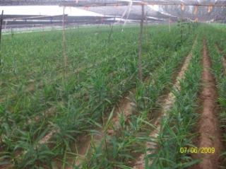 Qingdao Renhe Ginger Industry Development Co., Ltd.