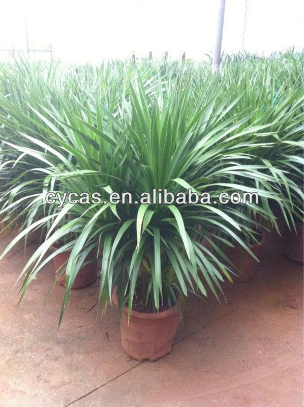 dracaena angustifolia view dracaena draco dracaena. Black Bedroom Furniture Sets. Home Design Ideas