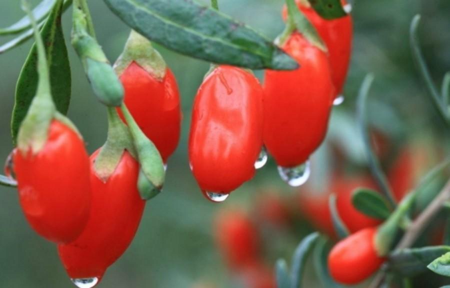 Травяные здравоохранения! ягоды годжи органические оптом доставка 500g мешок высочайшего качества сушеных Казахста для потери веса и улучшить ваш секс