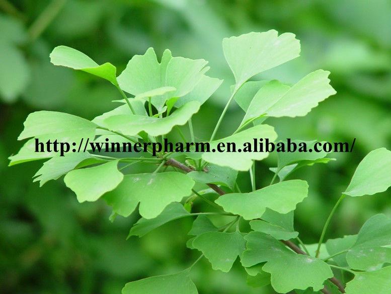 Ginkgo Biloba P.E. Ginkgo flavone Glycosides 24%/Terpene Lactones 6%