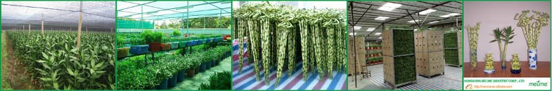 braided lucky bamboo indoor ornamental plants choice