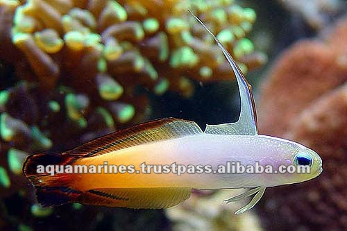 Sri Lanka Tropical Fish Aquarium Fish Ornamental Fish