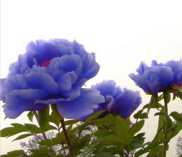 jardim rosas de saron:Blue Peonies Flowers