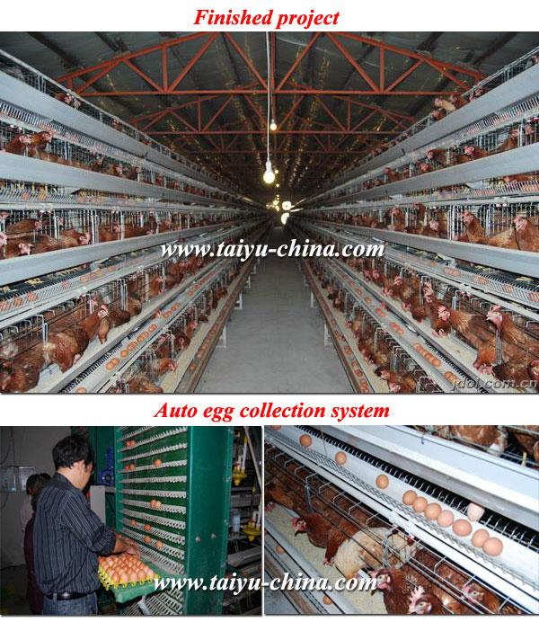 Poultry Feeding in Kenya For Kenya Poultry Farm