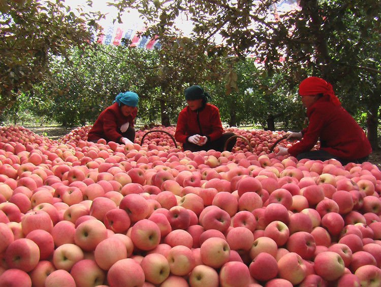 Chinese Fruit Fresh Apple Wholesale Price