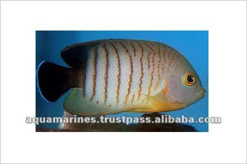 Dwarf Tropical Fish Tropical Fish Eibli's Pygmy