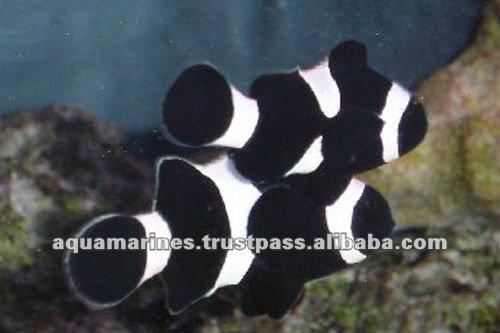 74 cat_marine_Tank-Bred---New-Catergory_Black-Nemo-Clown_l