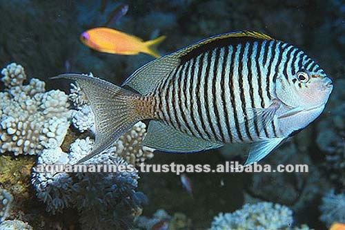 76.cat_marine_redseafish_625b