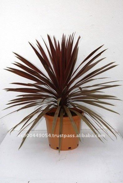 Cordyline indivisa ext rieure milieu tropical d corative for Plantes decoratives exterieur