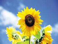 GREEN PLANT sun flower cooking oil