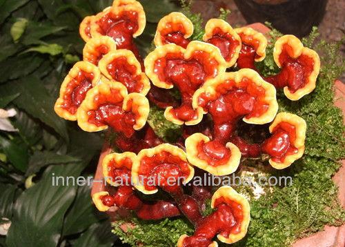Reishi Mushroom Extract / 1%-4% Triterpene (HPLC)