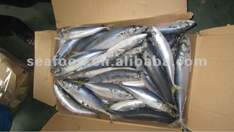 Good quality frozen Spanish Mackerel