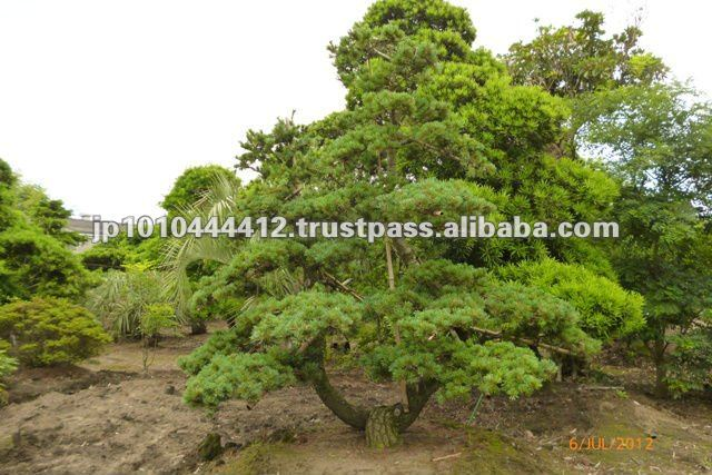 Zen garden oasis Plant of Bonsai forest for sale