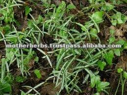 Hemidesmus Indicus / Indian Sarsaparilla Root