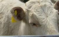 Клетки и аксессуары для сельскохозяйственных животных blank farm animal eartag ID tag for Cow cattle pig sheep livestock use