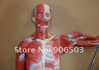 Товары для изучения медицины Anatomical model, Human limbs model, Human muscle, muscles of male with internal organs