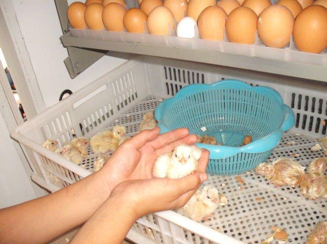 large size 30000 chicken eggs incubator