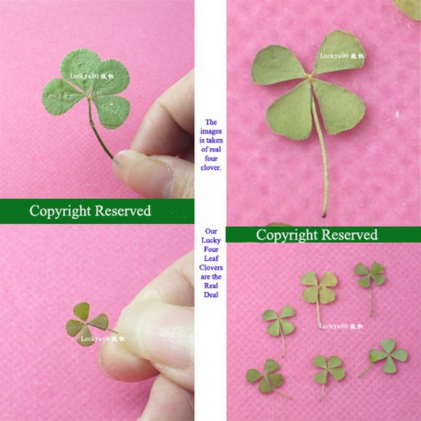 3-CLOVER3.jpg