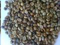 Buon Me Thuot lavar los granos de café Robusta, grado 1, pantalla 16