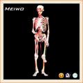 articular o modelo de esqueleto humano modelo