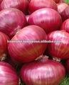 La cebolla siembra Bombay roja (color de rosa/el rojo)