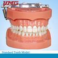 NISSIN Modelo dos dentes Standard com 32 dentes removíveis