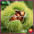 2013 nueva cosecha de yanshan freshchestnuts