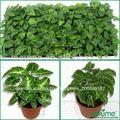 Los jóvenes de las plantas de cultivo de tejidos para la venta( syngonium planta tapones)