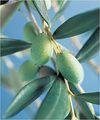 muestras gratis de hoja de oliva extracto en polvo