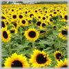 /p-detail/aceite-de-girasol-400000249260.html