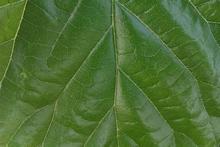 mejor venta de alta calidad natural de la clorofila