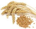 de trigo de la india