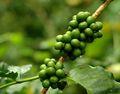De alta calidad 100% natural de grano de café verde