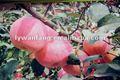 venta al por mayor fresca de manzana fuji nombre científico de frutas