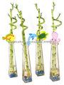 Espiral Bambú de la suerte plantas en venta Lucky bamboo, Drácena sanderiana