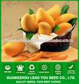 Semillas JMG01 Huang Xuan Mango para la venta, la plantación de semillas de mango