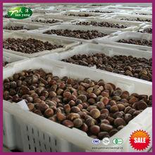 2013 nueva cosecha de frutos secos a granel-- orgánica primas frescas castaño chino para la venta