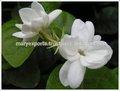 india frescas flores de jazmín