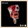 Modelo de la cavidad nasal. De la cavidad oral, la faringe y la cavidad laríngeo modelo médico