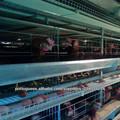gaiolas para galinhas poedeiras usados