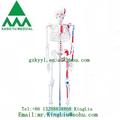 85cm esqueleto com músculos pintados ky-102c modelo de esqueleto humano