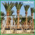 Phoenix canariensis fecha los árboles de palma para la venta de la palma datilera