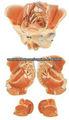 Los órganos reproductores y los vasos sanguíneos y los nervios conectados al modelo pelvis