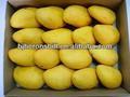 fresco jugo de mango concentrado para bebida suave