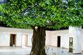 2014 nuevo estilo artificial del árbol de higuera de bengala/artificial venta al por mayor del árbol de higuera de bengala