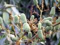 Lichi/litchi/litchee/frutas/verde lichi/baby lichi/verde de lichi