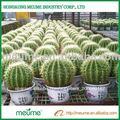 suculentas tropicales plantas bonsai para la venta