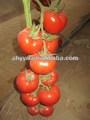 Napulasi Semillas de vegetales chinos