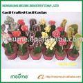 Cactuse pépinière. cactuse plantes fleuries d'intérieur greffé cactus rouge