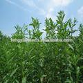 Branco açúcar do stevia/stevia extrato de folhas de/substituto do açúcar